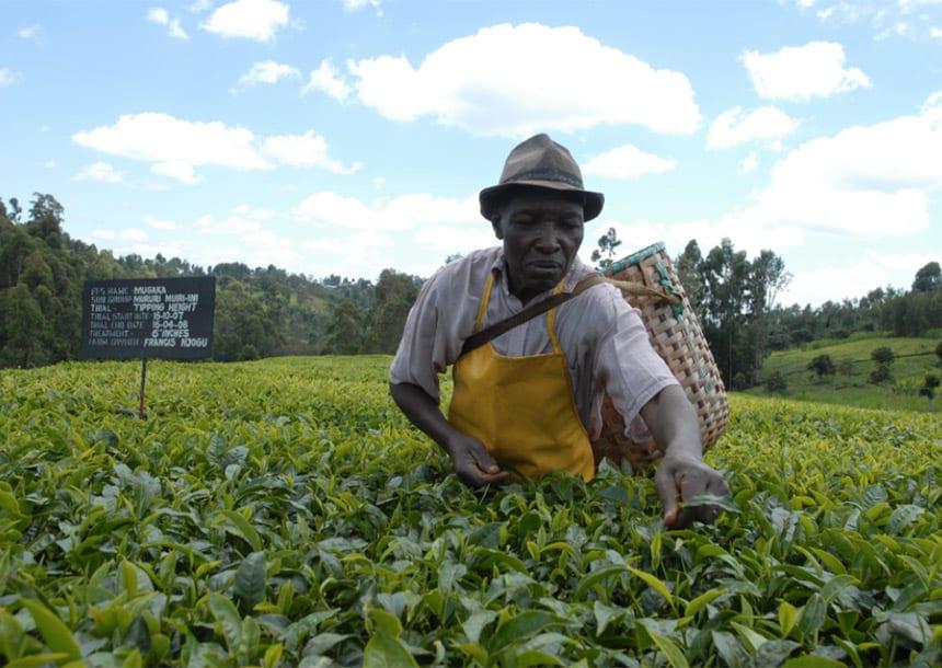 Tea production, tea farm